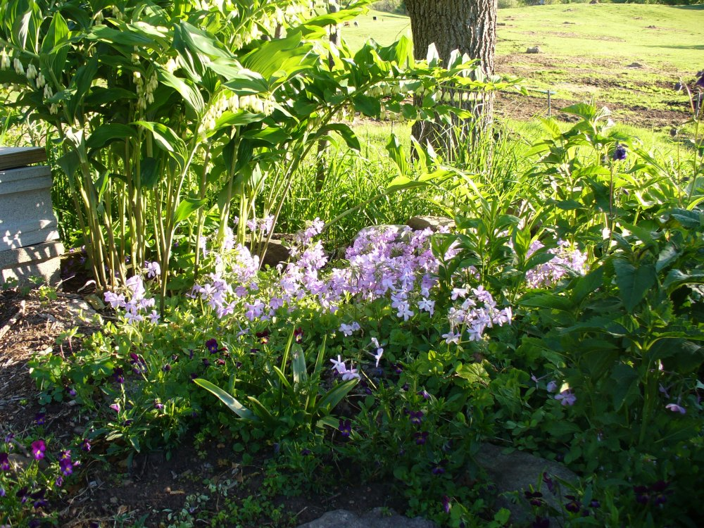solomon's seal with woodland phlox