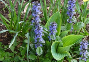ajuga with hosta