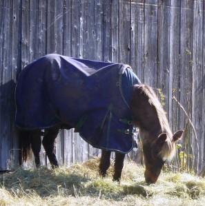 Gigi eating hay