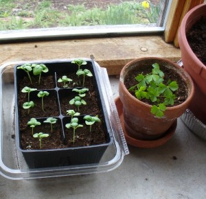 basil and parsley seedlings