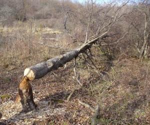 beaver felled hop hornbeam
