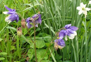 columbine with late narcissus in mid-May