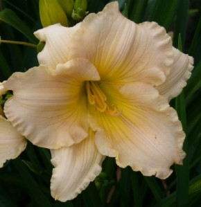 daylily portrait