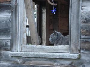 grey kitty in barn window