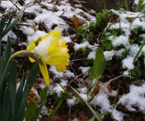 daffodil bloom and snow