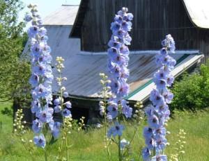sky blue delphinium