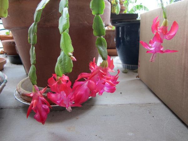 Christmas cactus inside