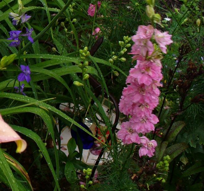 double pink larkspur, dark blue larkspur