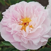Peony Orchid Anne