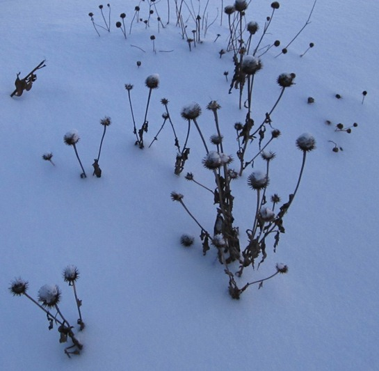 coneflowers and rudbeckia peeking out from a snowbank