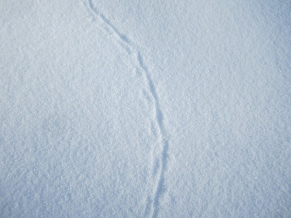 tiny tracks with a tail dragging!