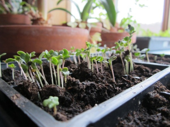 broccoli and cabbage seedlings