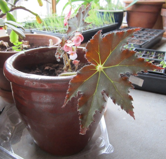 repotted red begonia