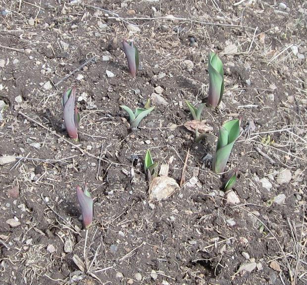 tulip patch
