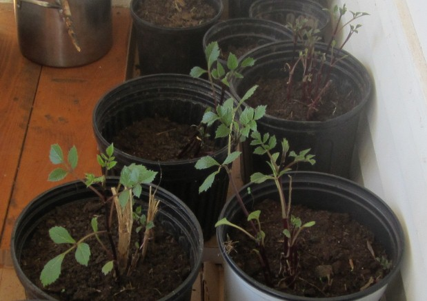 last year's dahlias, made it through the winter and have sprouted already.