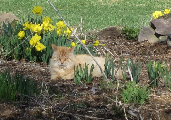 Mr Fluff and daffodils