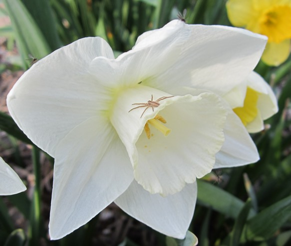 a nice white daffodil with a spider