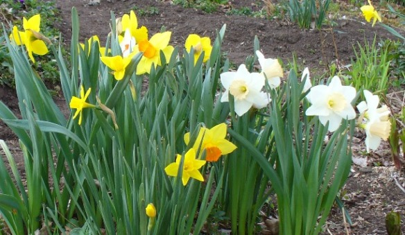 April 19 2012 front yard narcissus