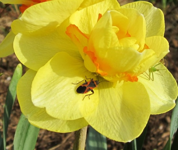 crowded narcissus