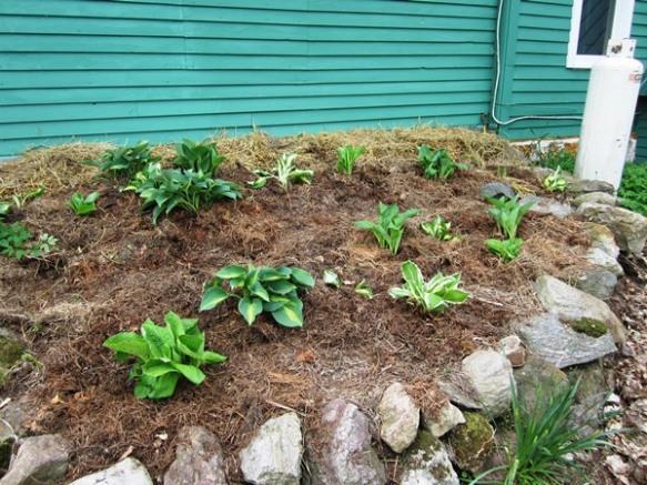 after--instant hosta garden.