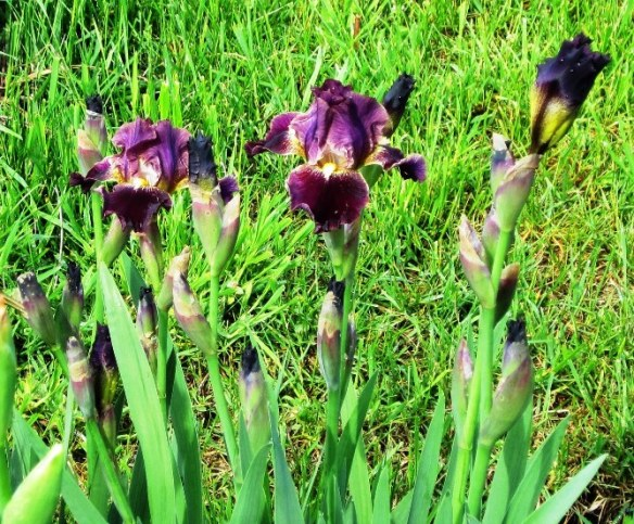 plum colored iris
