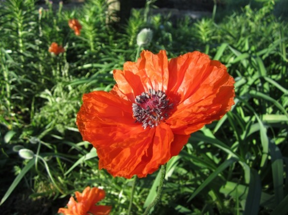 nothing is quite like these bright orange poppies