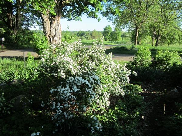 glorious white spirea