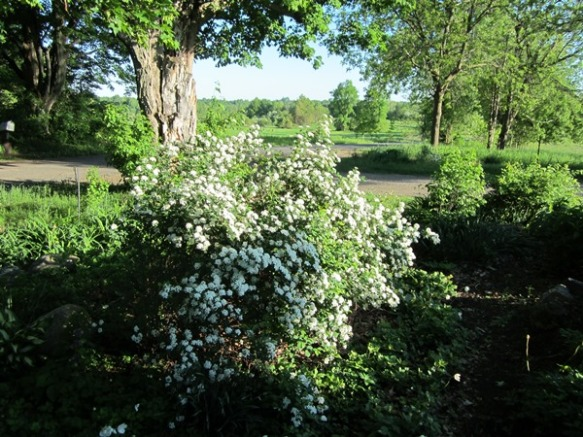 glorious white spirea