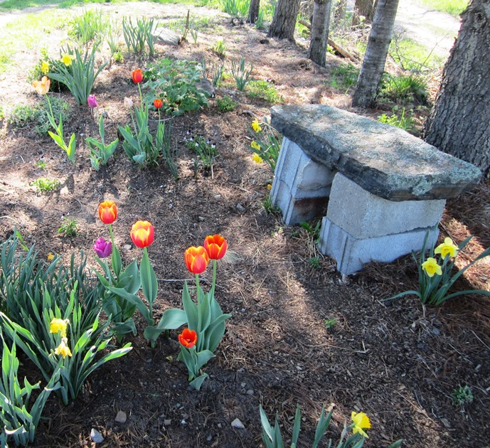 a bench and tulips under the row of pine trees