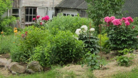 before deadheading--shaggy peony bushes