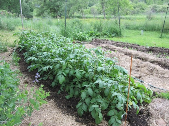healthy potato plants