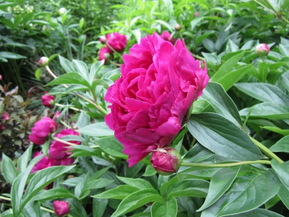 a gorgeous dark pink peony that I rescued from the shade of a giant maple tree in the yard of the abandoned house across the street. It's at least ten times bigger than it was under the maple tree.