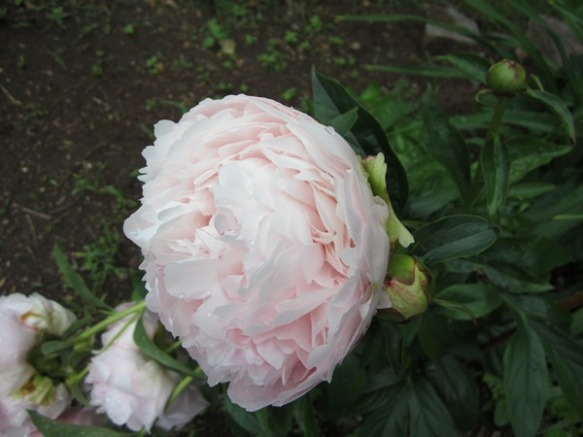 a lovely dusty pink peony I ordered three years ago from Khlem's Songsparrow nursery.