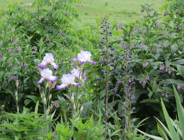 beautiful combination: purple comfrey, iris, and budded delphinium