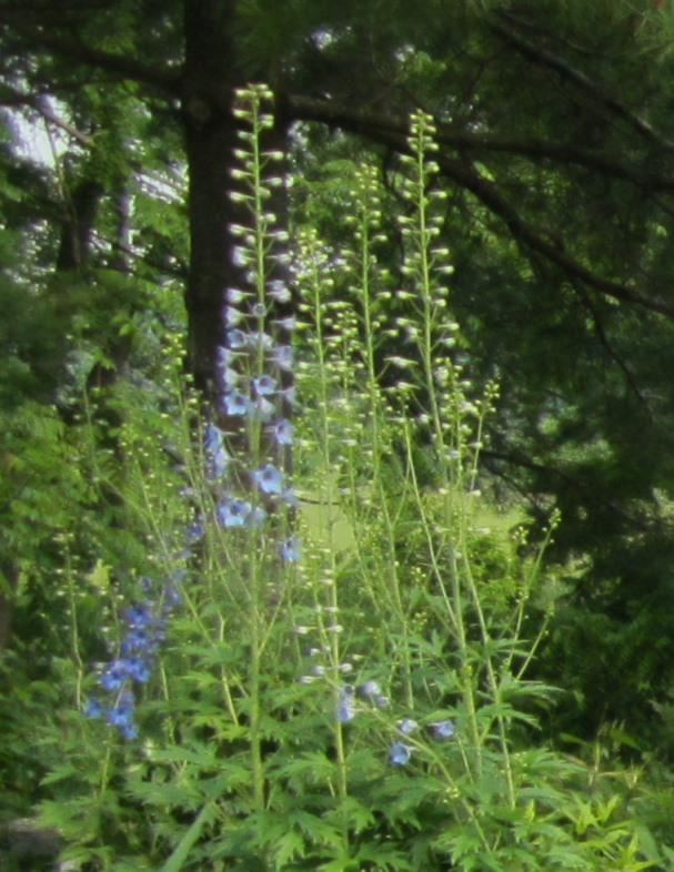 garden late June 013
