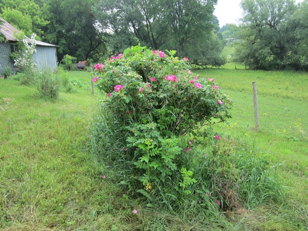 the red rugosa rose