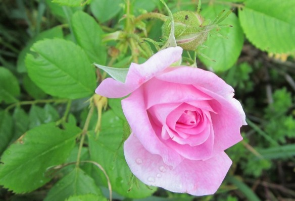 """a """"wild"""" rose growing on the weedy hillside overlooking the garden. Very fragrant!"""