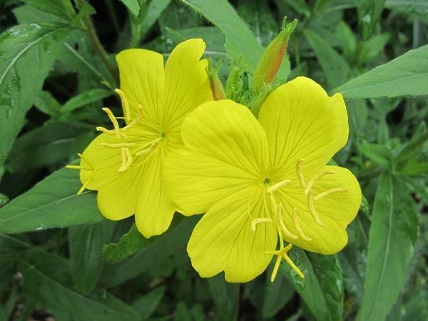 evening primrose close-up