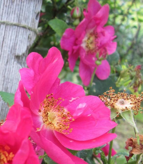 a bush rose in the meditation garden