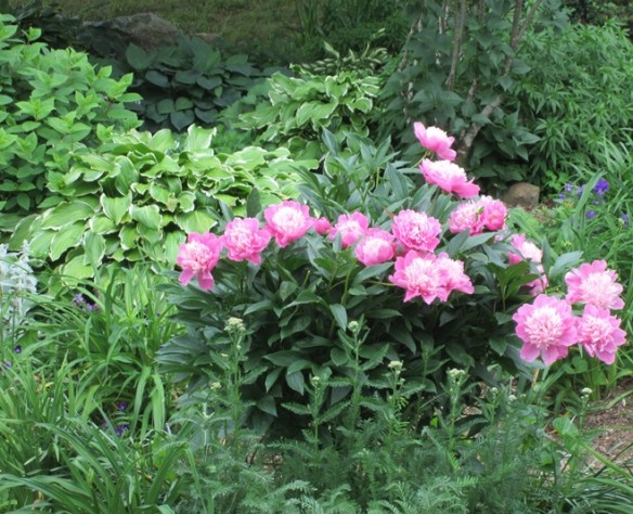 front yard peony bush in a sea of green