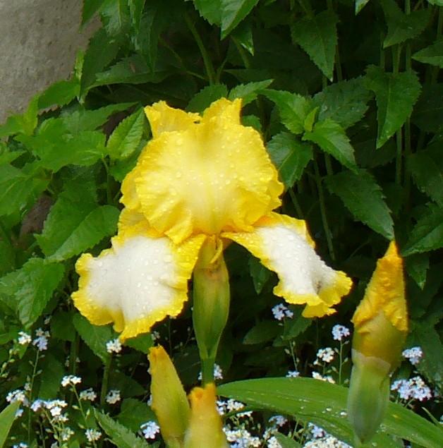 iris yellow and white