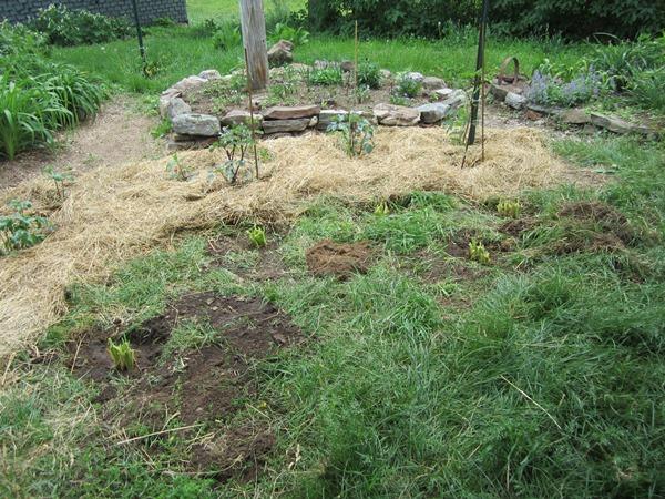 five newly planted daylilies.
