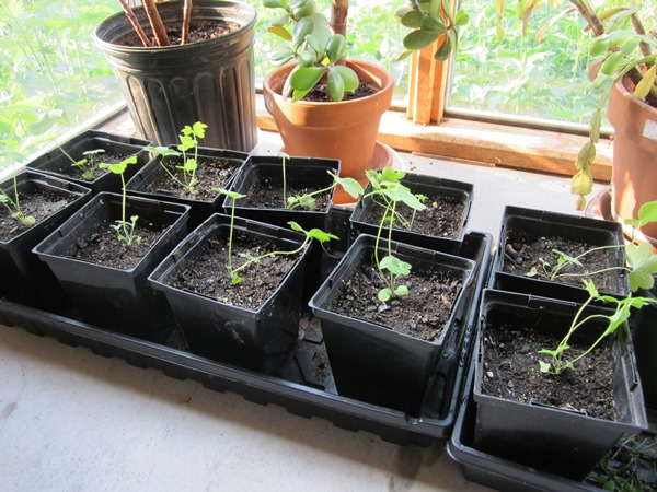 ten baby delphinium plants