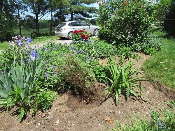 potentilla bush in a new home