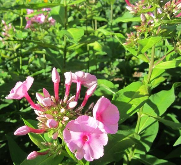garden July 20 048