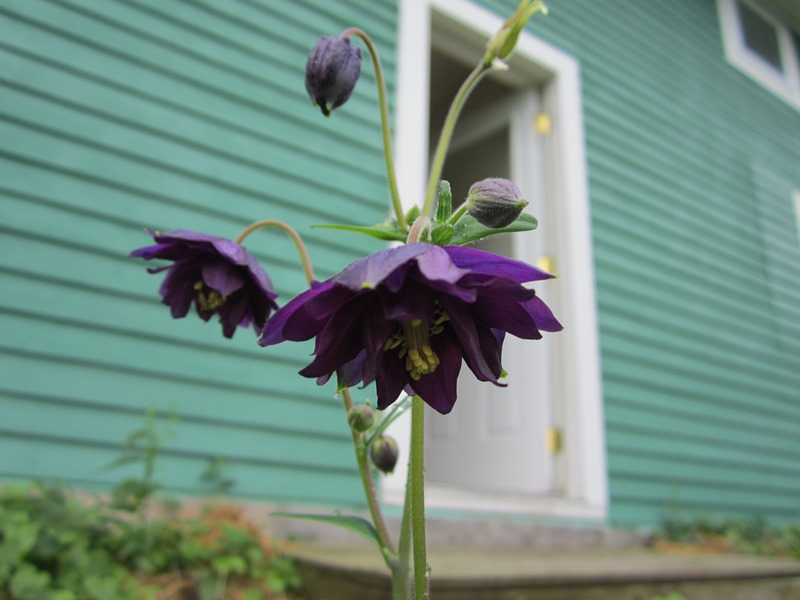 dark purple columbine