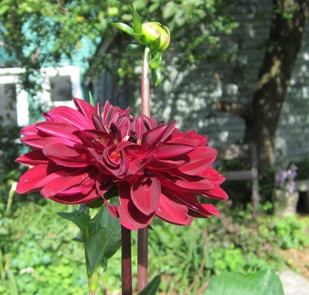 beautiful wine-red dahlia