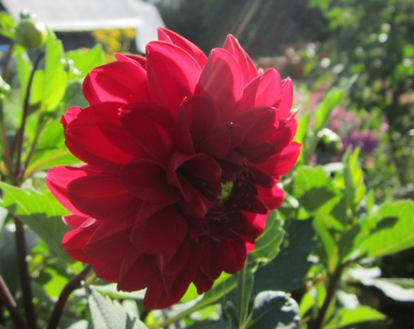red dahlia and morning sun