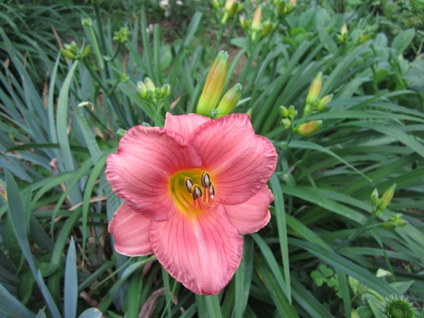 nice rich salmon-colored lily