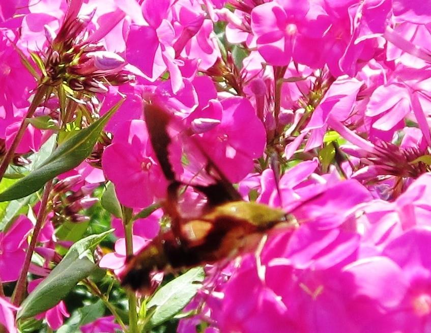 hummingbird moth on pink phlox